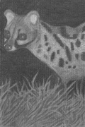 Midnight Genet